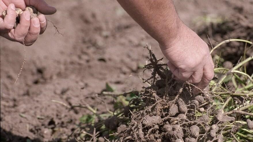 Maní: los desafíos que presenta la expansión del cultivo