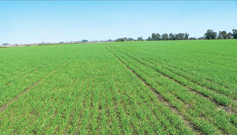 Se espera un área de siembra récord de cultivos de invierno: trigo estable y cebada en crecimiento