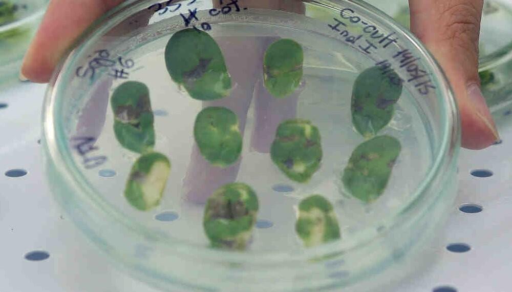 Investigadores argentinos trabajaron en el descubrimiento de un gen que acelera el crecimiento de plantas
