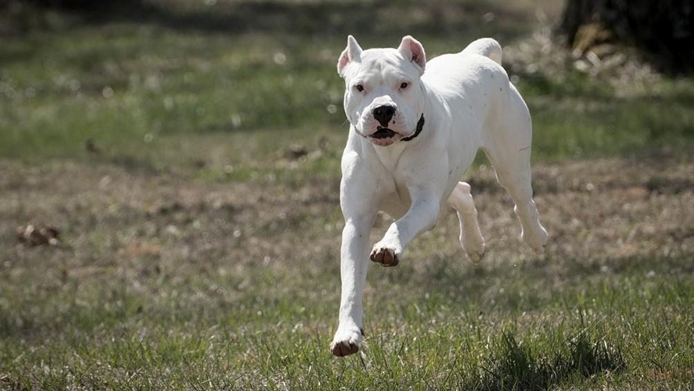 Cuáles son los nuevos requisitos para el registro de perros peligrosos en CABA