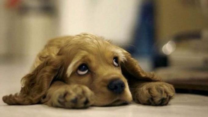 Borreliosis canina