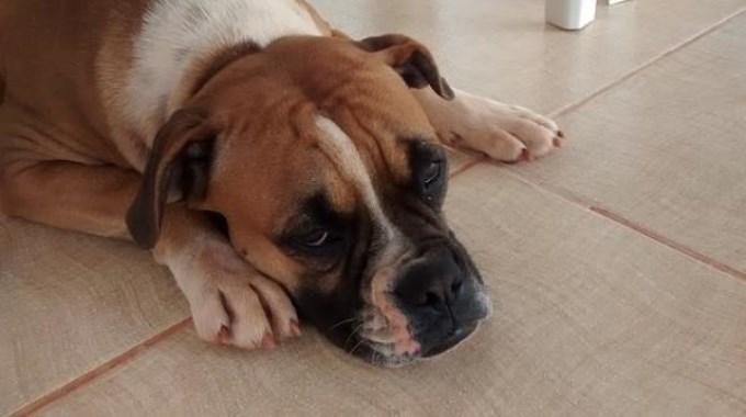 Síntomas de cistitis en perros