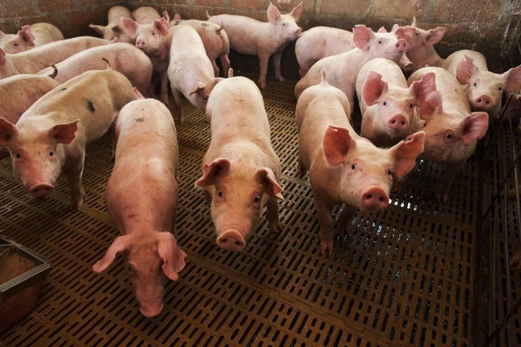 El Gobierno busca un acuerdo con China por inversiones para carne de cerdo