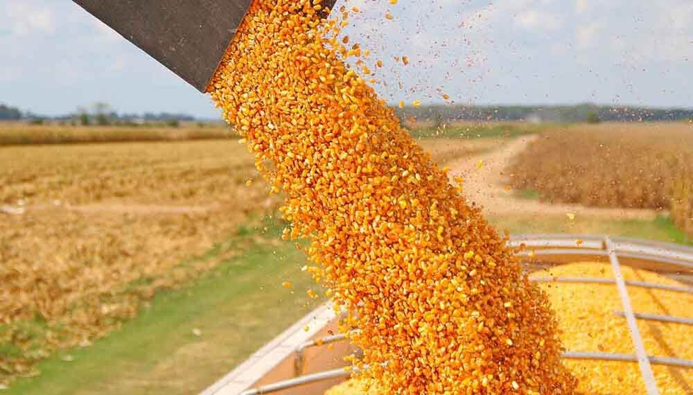 Ya se cosechó el 56% del área apta de maíz a nivel nacional