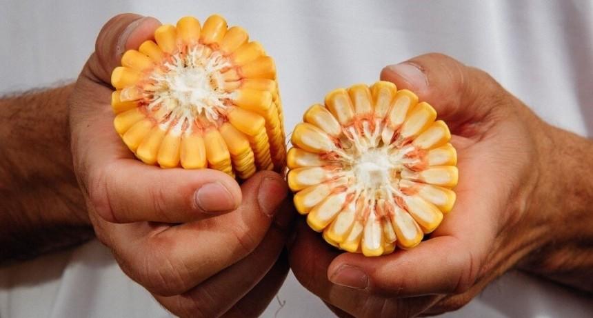 Imparable: en una década, el rinde del maíz duplicó al de soja