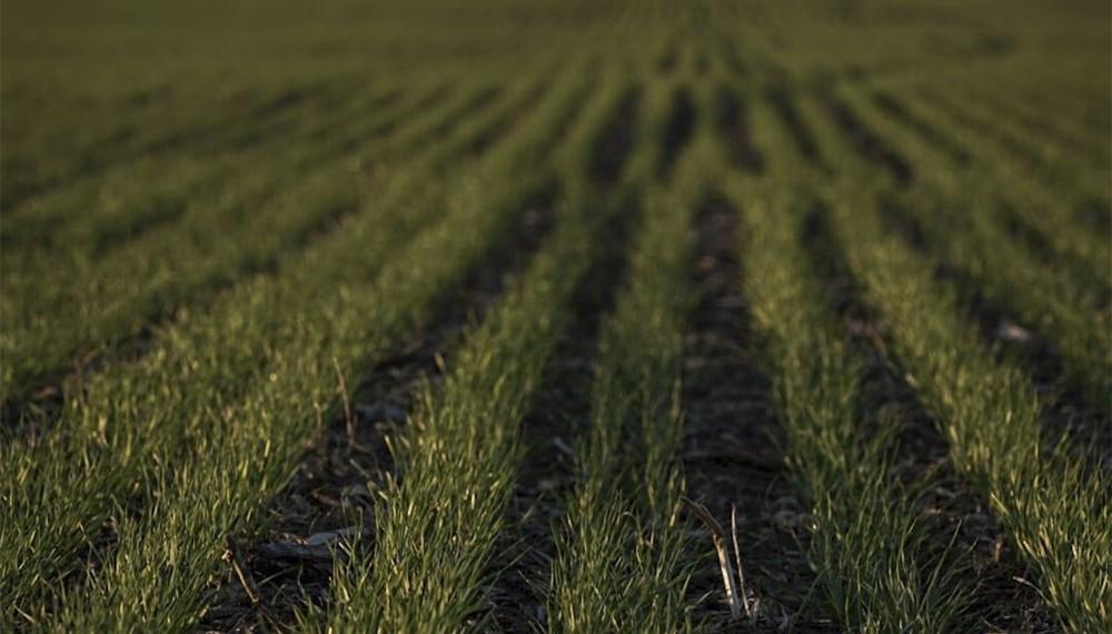 Trigo y cebada: lanzan una solución digital para el problema de las enfermedades