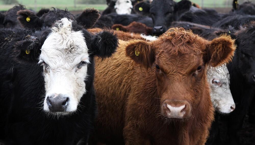 Proyectan que el stock bovino alcanzará los 53,5 millones de cabezas